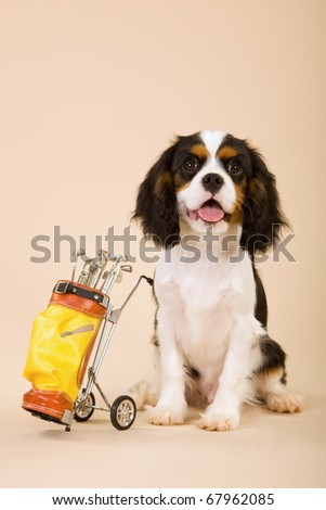 Cavalier puppy with toy miniature golf bag and putters - stock photo