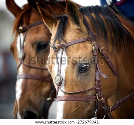 cavalry of don horses heads closeup - stock photo
