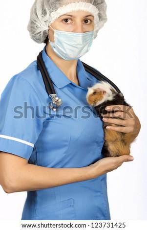 Cavia porcellus, guinea pig treats vet, - stock photo
