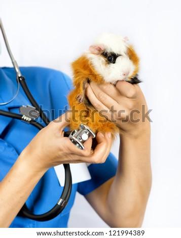 Cavia porcellus treats vet, guinea pig - stock photo