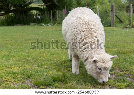 CClose up shot of Sheep on green grass and blue sky in New Zealand - stock photo