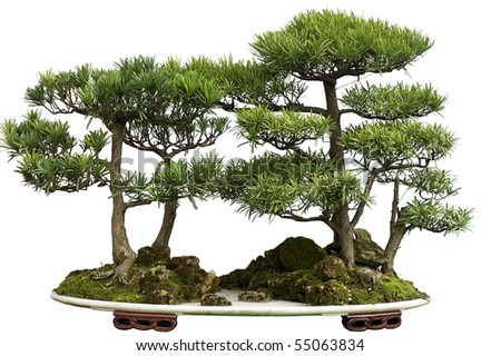 cedar bonsai - stock photo