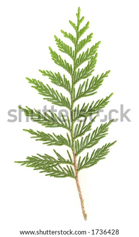 Cedar Branch isolated