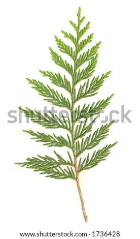Cedar Branch isolated - stock photo