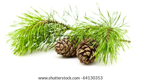 cedar branch with two  cones on white