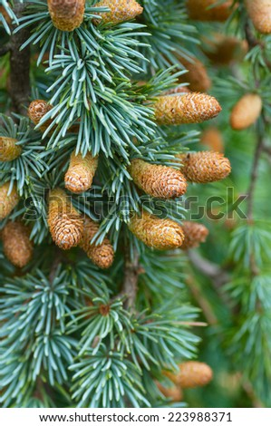 Cedar branches with cones - stock photo