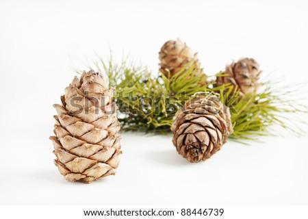 Cedar cones - stock photo