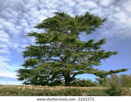 cedar of Lebanon against blue sky - stock photo