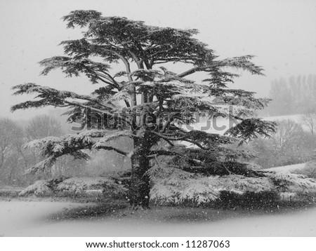 Cedar Tree in Winter - stock photo
