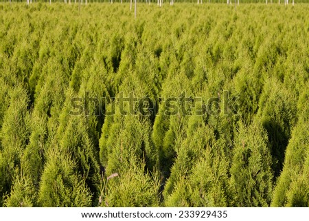 Cedar trees all lined up at tree farm, Agassiz, BC in the Fraser Valley - stock photo