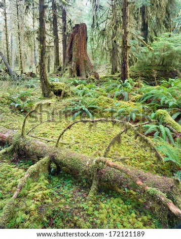 Cedar Trees Deep Forest Green Moss Covered Growth Hoh Rainforest - stock photo