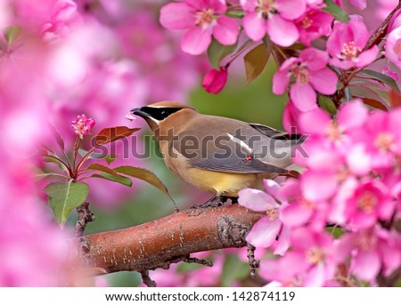 Cedar Waxwing amongst crab apple tree blossoms - stock photo