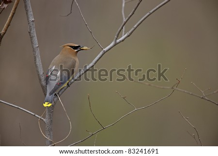 Cedar Waxwing (Bombycilla cedorum) on branch eating seed pod - stock photo