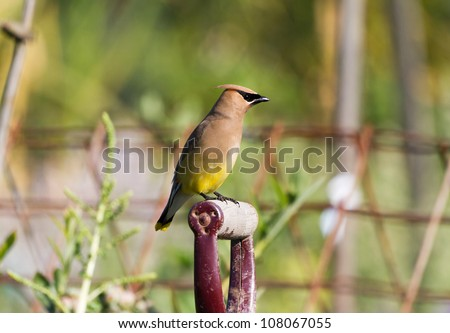 Cedar Waxwing close up - stock photo