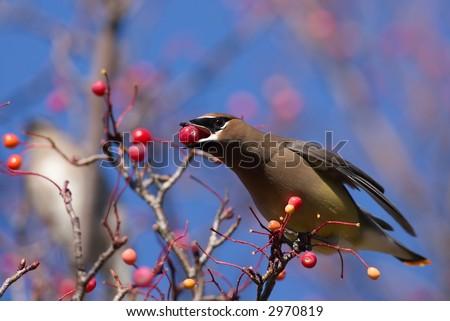 Cedar Waxwing eating berries - stock photo
