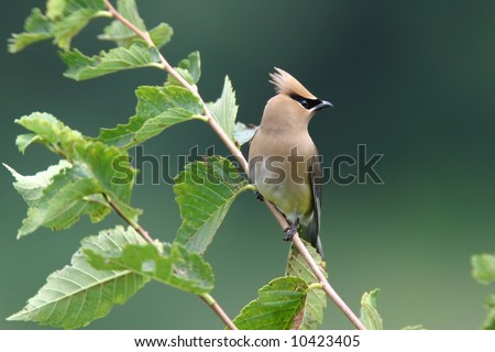 Cedar Waxwing Perched in Bush - stock photo