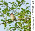 Cedar waxwing perched on a tree branch - stock photo