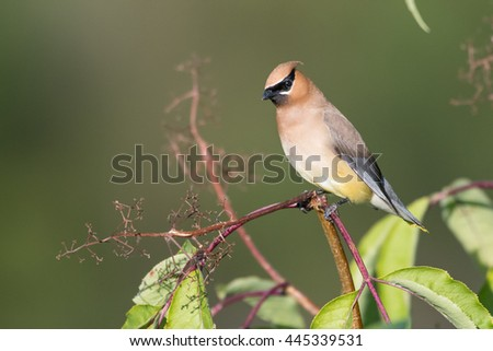 Cedar Waxwing perches on broken limb. - stock photo