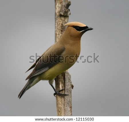 Cedar Waxwing Perching - stock photo