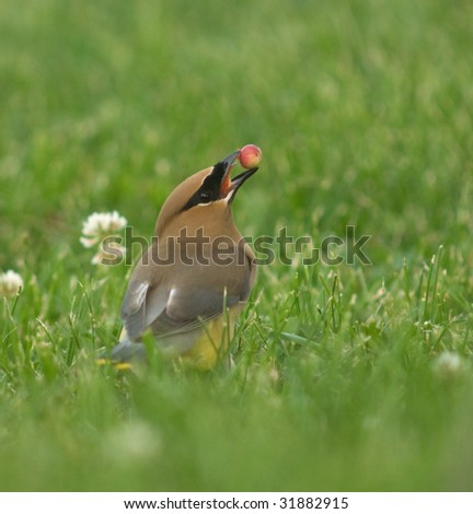 Cedar waxwing prepares to eat a service berry in meadow - stock photo