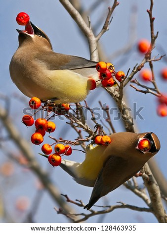 Cedar Waxwings - stock photo