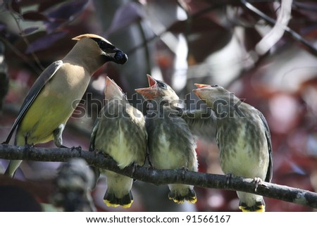 Cedar Waxwings being fed - stock photo