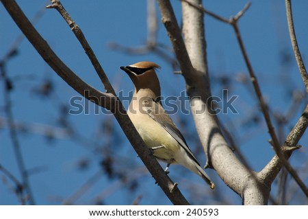 Ceder Waxwing - stock photo