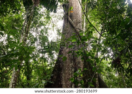 Ceiba Is The Name Of A Genus Of Many Species Of Large Trees Found In Tropical Areas, South America  - stock photo