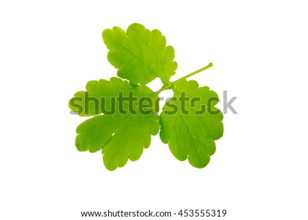 Celandine leaf (killwort) isolated on white background. Medical herb series. - stock photo