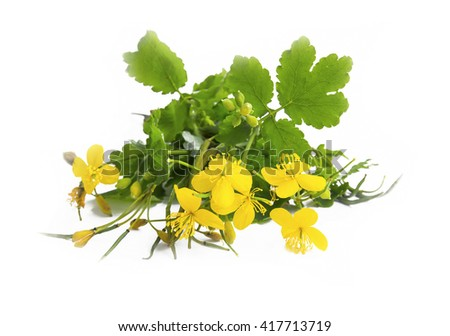 Celandine medicinal plant isolated on white - stock photo