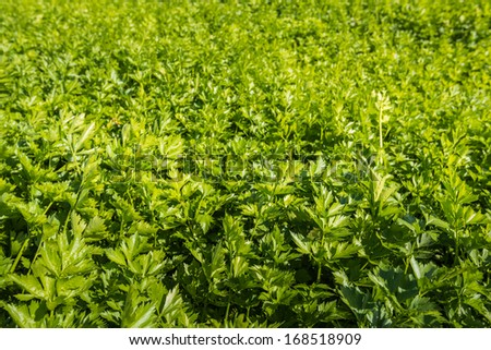 Celeriac plants growing in the summer sun on the field of a horticultural company. - stock photo