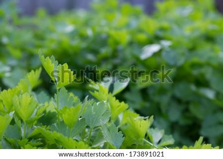 Celery Farm. - stock photo