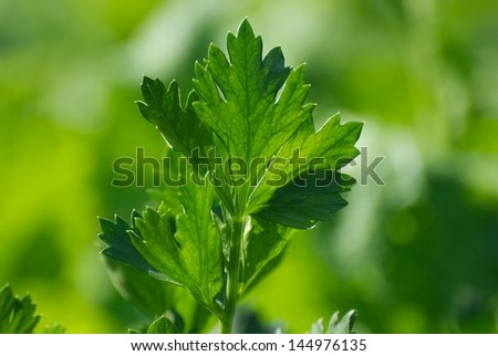 Celery on a green background - stock photo