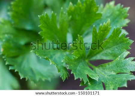 Celery plant in the vegetable garden - stock photo