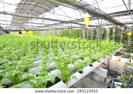 Celery planted on a plantation, qinhuangdao city, China  - stock photo