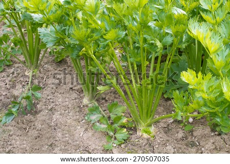 Celery stalks and roots growing in a garden - stock photo