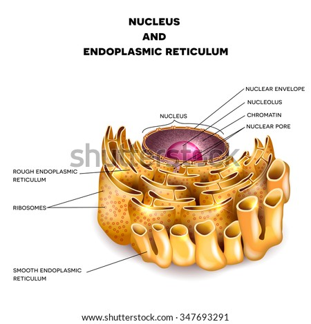 Cell Nucleus and Endoplasmic reticulum detailed anatomy with description - stock photo