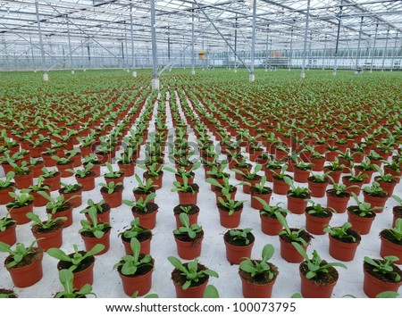 Celosia plants in pots in a green house of a nursery - stock photo