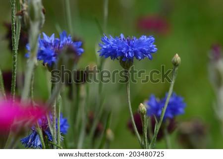 Centaurea cyanus (Cornflower) in bloom - stock photo