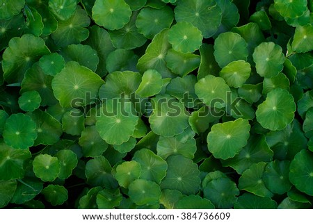Centella asiatica, green leaves Herbs,Water Pennywort - stock photo