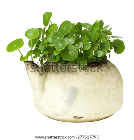 Centella asiatica in a kettle isolated on a white background  - stock photo
