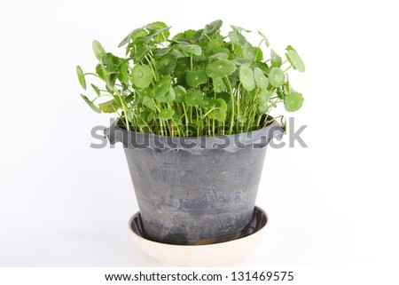 centella in pot on white background
