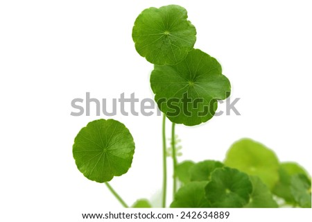 centella is a small herb in wetland.  - stock photo