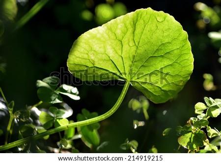 Centella leaf - stock photo