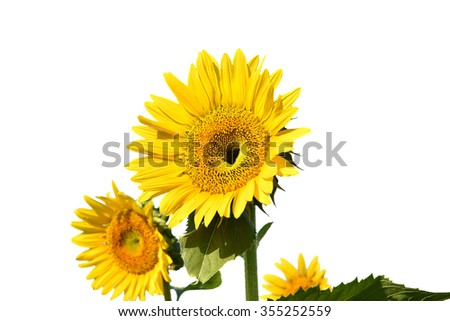center focus Sunflower field isolated on white background