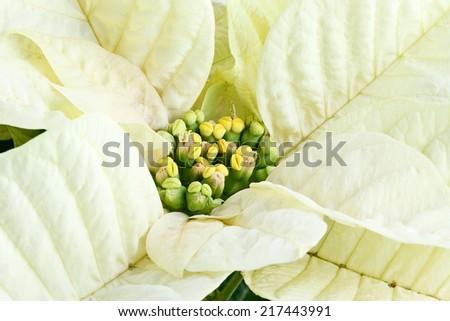 Center of a beautiful white Christmas flower, Poinsettia. - stock photo