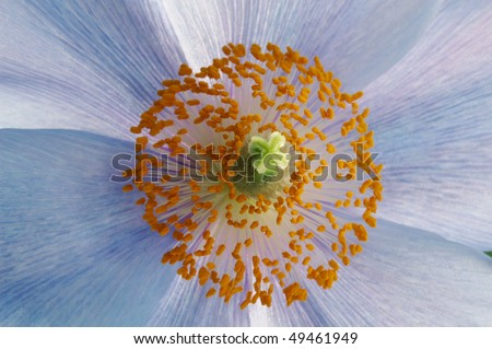 Center of a Himalayan Blue Poppy Macro - stock photo