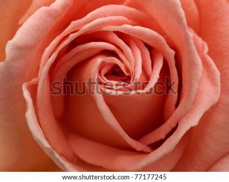 Center of a Light Pink Rose Close-up. - stock photo