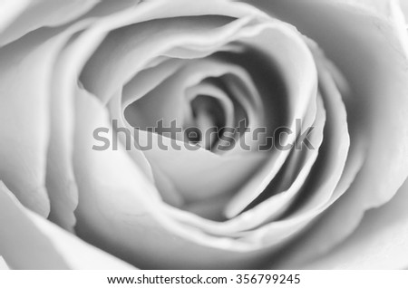 Center of black and white rose in bloom. - stock photo