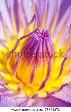 Center of blue lotus - stock photo
